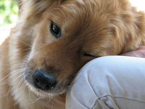 Dogs are sensitive to fleas, ticks, and mosquitoes. Use Basic H as treatment.