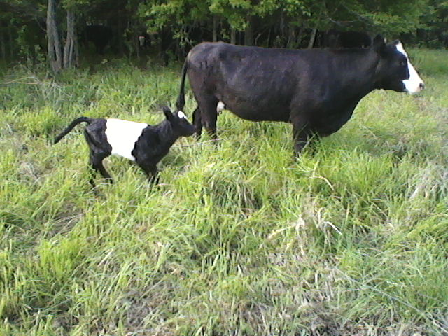 New calf, Socks, keeping up with mom in tall grass.